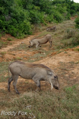 Three warthogs in a row
