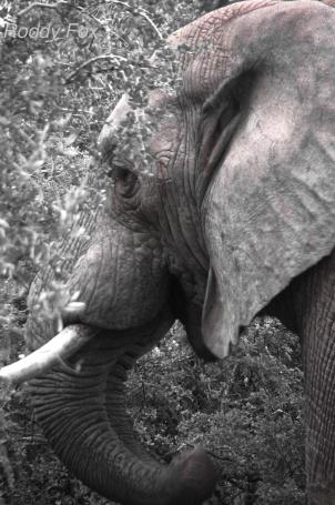 Elephant in the thorn bush