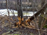 Beavers 3