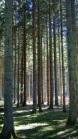 Trees of Omberg 05