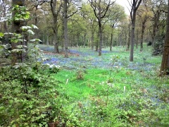 Bluebells 6