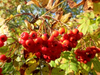 Rönbär Kosters Fyrar