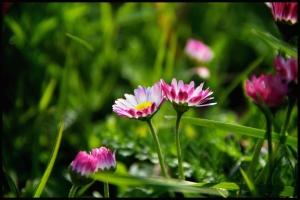 Valla daisies
