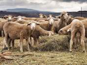 Karoo shorn sheep