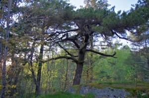 Äsperöd Gnarly Tree