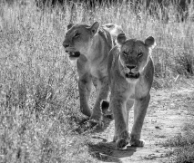 Young Lions in the Mara