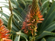 Aloes web 2