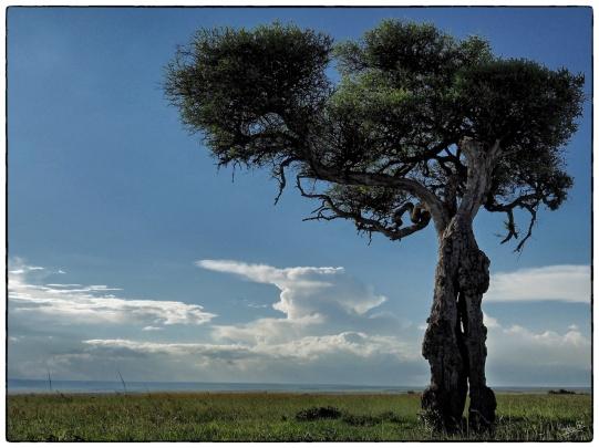 Balanites Tree