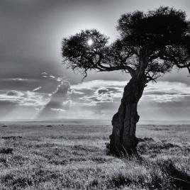 Balanites Tree, Masaai Mara, Kenya, #NAF18
