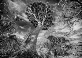 Dragon Tree, Botanic Gardens, Grahamstown, South Africa, #NAF18