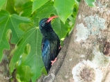 The beady eye of the green wood hoopoe