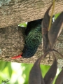 Green wood hoopoe upside down