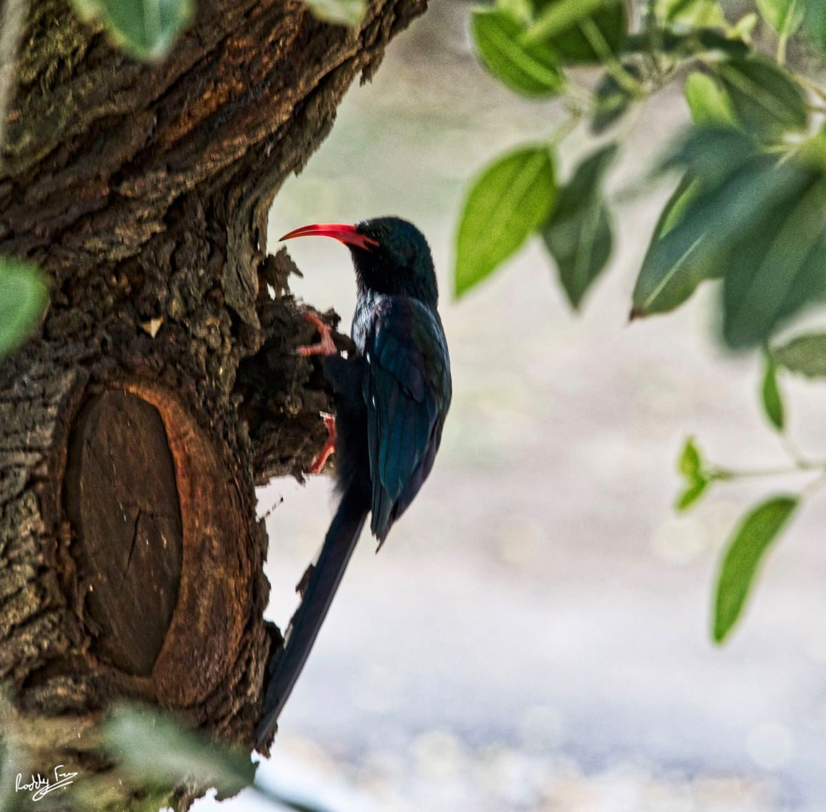 Wood hoopoe posing on a branch