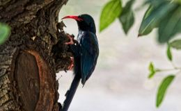 The green woodhoopoes