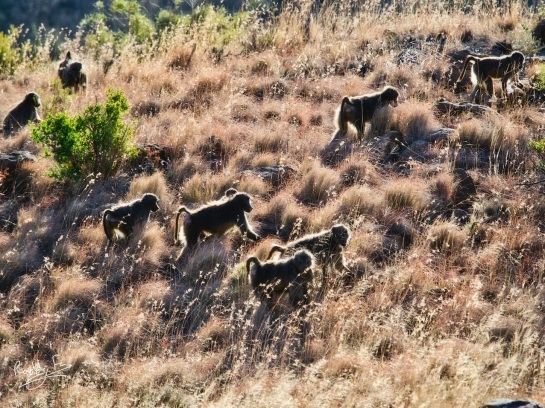 Baboon troop, Mt Zebra National Park