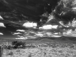 Karoo sheep and water tank, Blaauwater Siding, Nieu-Bethesda, Karoo