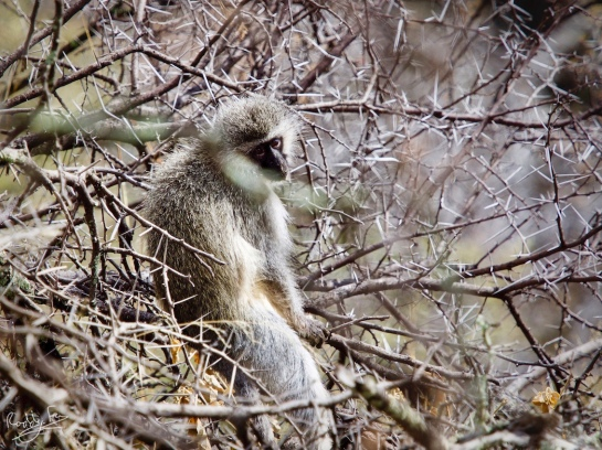 Ververt Monkey in the thorn bush, Mt Zebra National Park